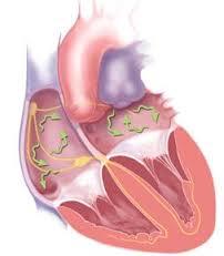 heart-cross-section
